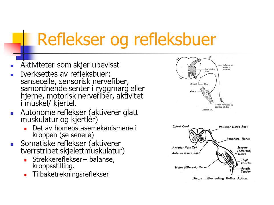 Reflekser og refleksbuer Aktiviteter som skjer ubevisst Iverksettes av refleksbuer: sansecelle, sensorisk nervefiber, samordnende senter i ryggmarg el