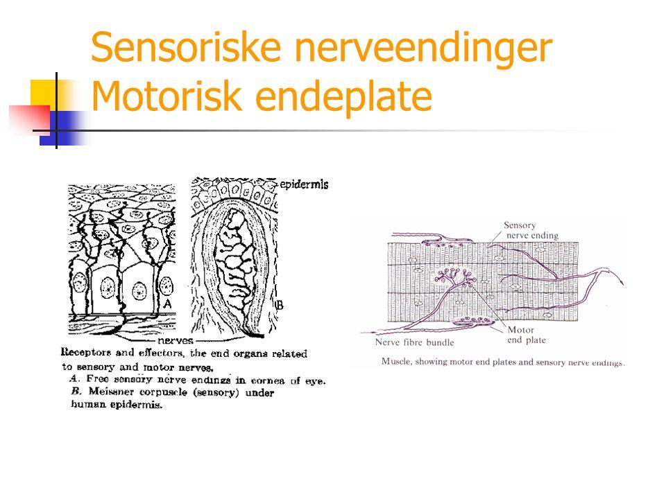 Sensoriske nerveendinger Motorisk endeplate