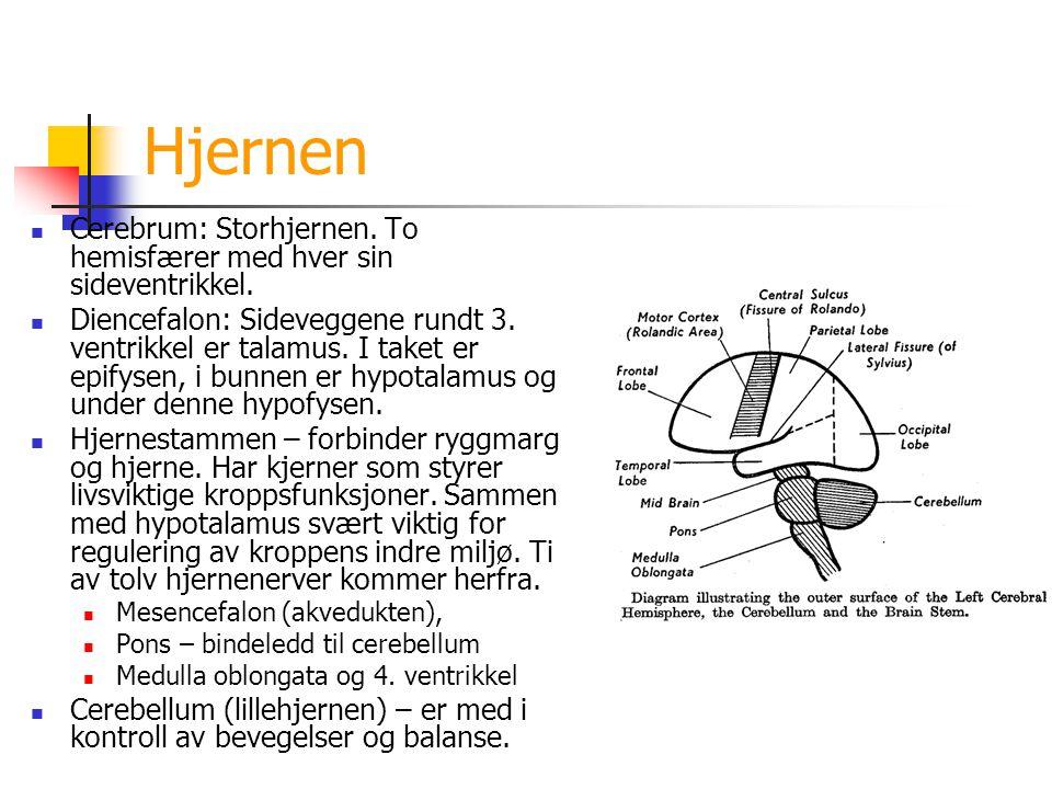 Hjernen Cerebrum: Storhjernen. To hemisfærer med hver sin sideventrikkel. Diencefalon: Sideveggene rundt 3. ventrikkel er talamus. I taket er epifysen