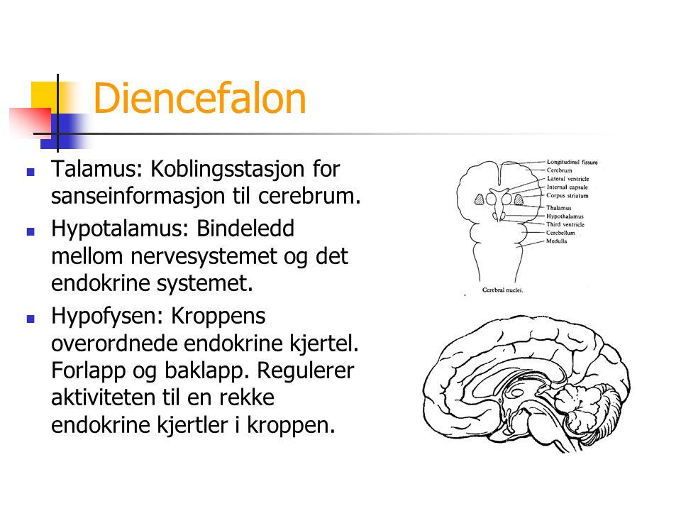 Diencefalon Talamus: Koblingsstasjon for sanseinformasjon til cerebrum. Hypotalamus: Bindeledd mellom nervesystemet og det endokrine systemet. Hypofys