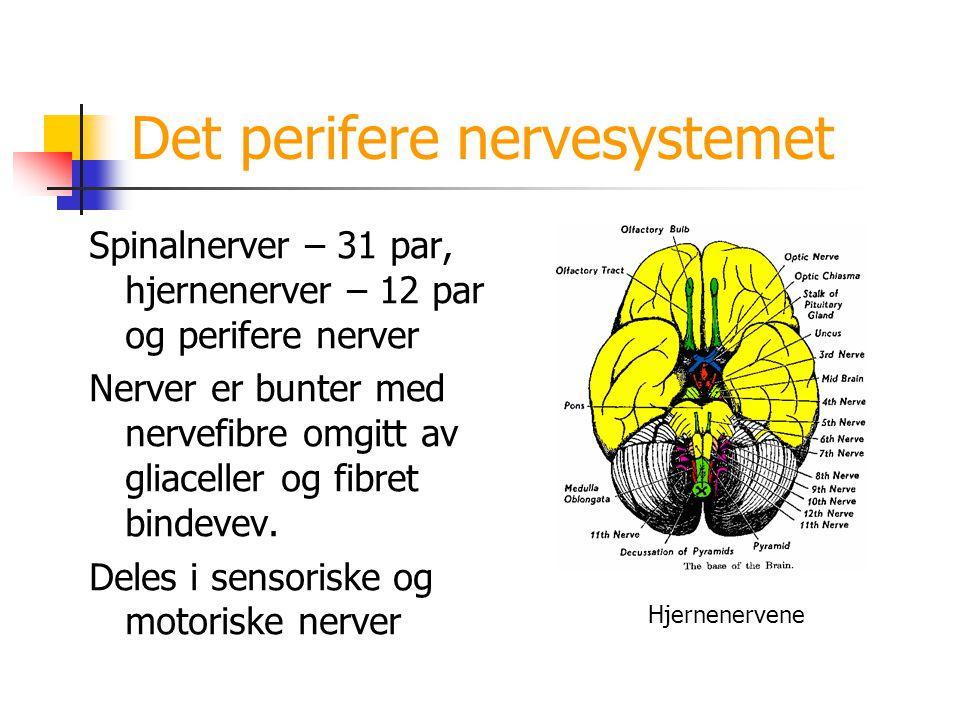 Det perifere nervesystemet Spinalnerver – 31 par, hjernenerver – 12 par og perifere nerver Nerver er bunter med nervefibre omgitt av gliaceller og fib