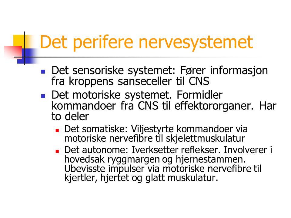 Det perifere nervesystemet Det sensoriske systemet: Fører informasjon fra kroppens sanseceller til CNS Det motoriske systemet. Formidler kommandoer fr