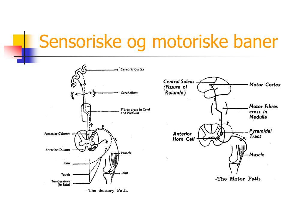 Sensoriske og motoriske baner
