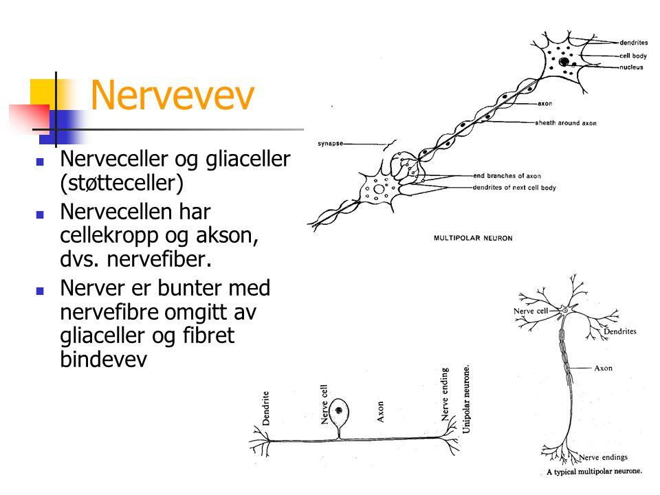 Nervevev Nerveceller og gliaceller (støtteceller) Nervecellen har cellekropp og akson, dvs. nervefiber. Nerver er bunter med nervefibre omgitt av glia