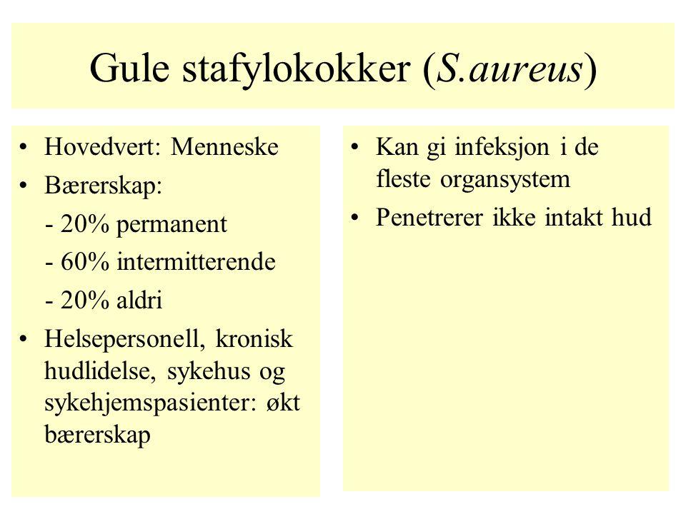Gule stafylokokker (S.aureus) Hovedvert: Menneske Bærerskap: - 20% permanent - 60% intermitterende - 20% aldri Helsepersonell, kronisk hudlidelse, syk