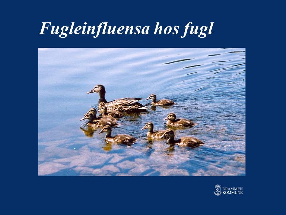 Fugleinfluensa hos fugl