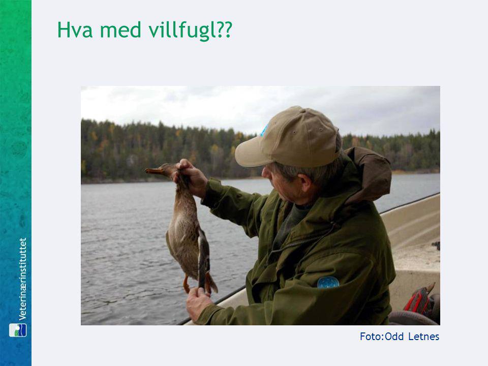 Hva med villfugl?? Foto:Odd Letnes