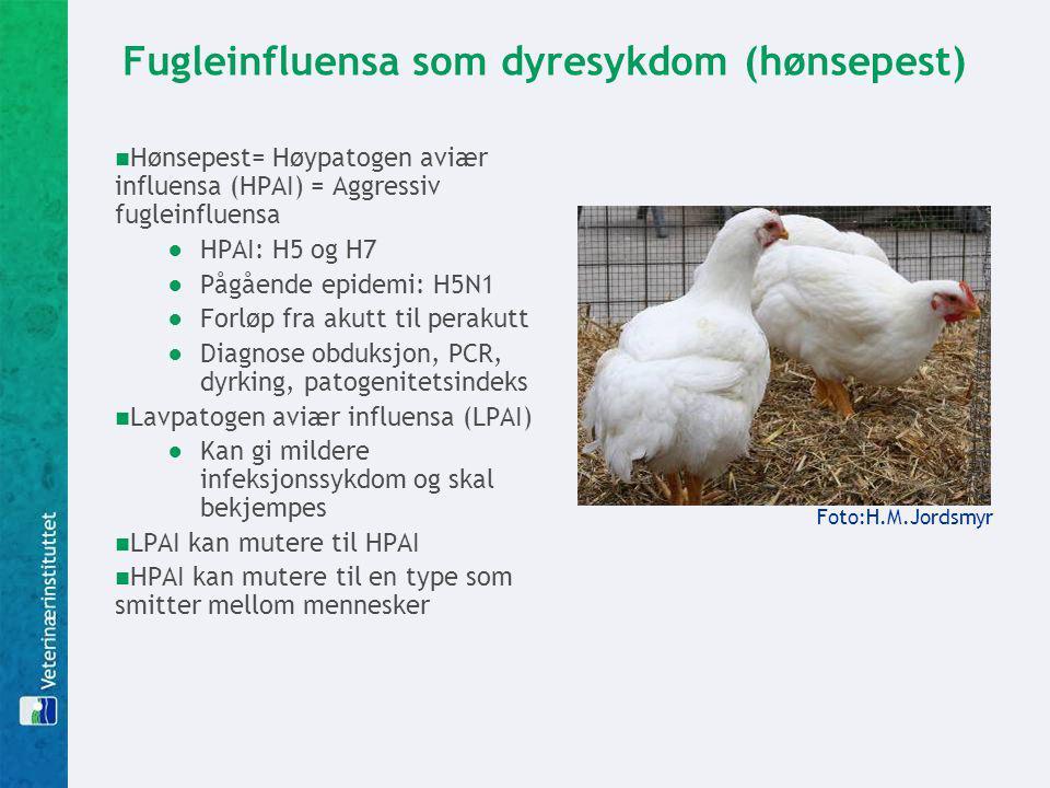 Fugleinfluensa som dyresykdom (hønsepest) Hønsepest= Høypatogen aviær influensa (HPAI) = Aggressiv fugleinfluensa ●HPAI: H5 og H7 ●Pågående epidemi: H