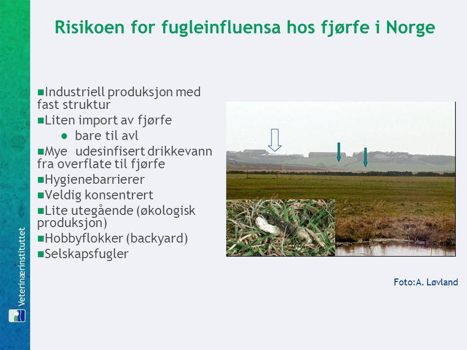 Risikoen for fugleinfluensa hos fjørfe i Norge Industriell produksjon med fast struktur Liten import av fjørfe ●bare til avl Mye udesinfisert drikkeva