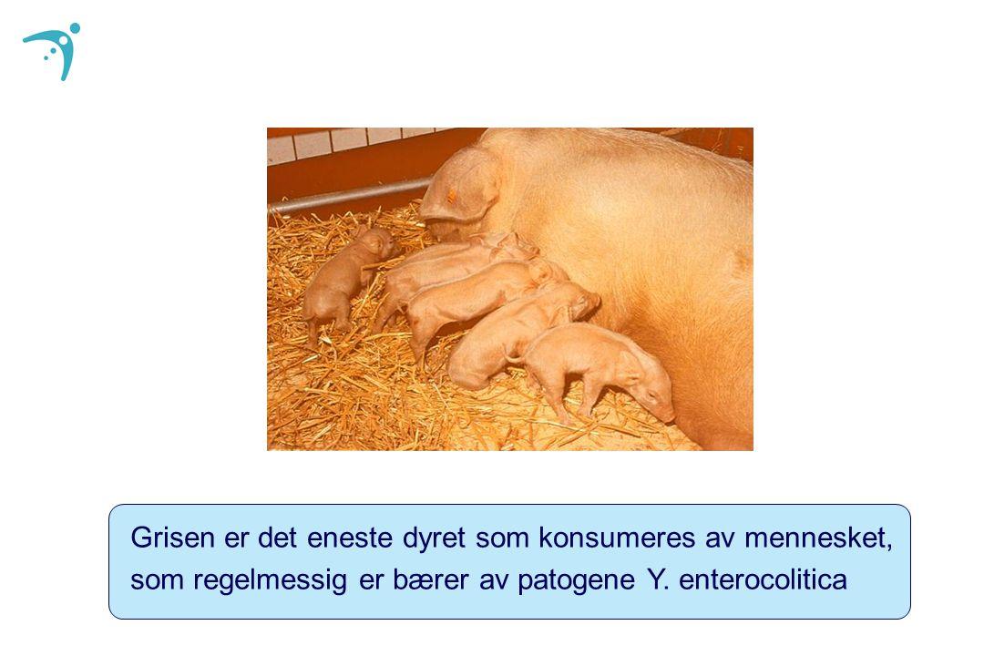 Grisen er det eneste dyret som konsumeres av mennesket, som regelmessig er bærer av patogene Y. enterocolitica