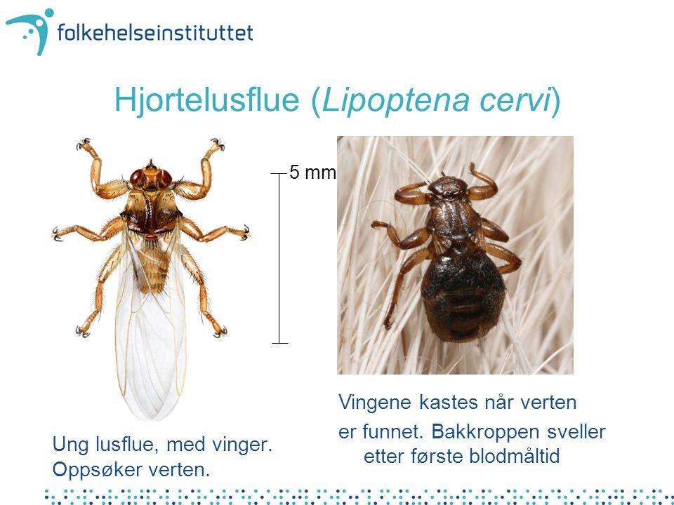 Hjortelusflue (Lipoptena cervi) Ung lusflue, med vinger. Oppsøker verten. 5 mm Vingene kastes når verten er funnet. Bakkroppen sveller etter første bl
