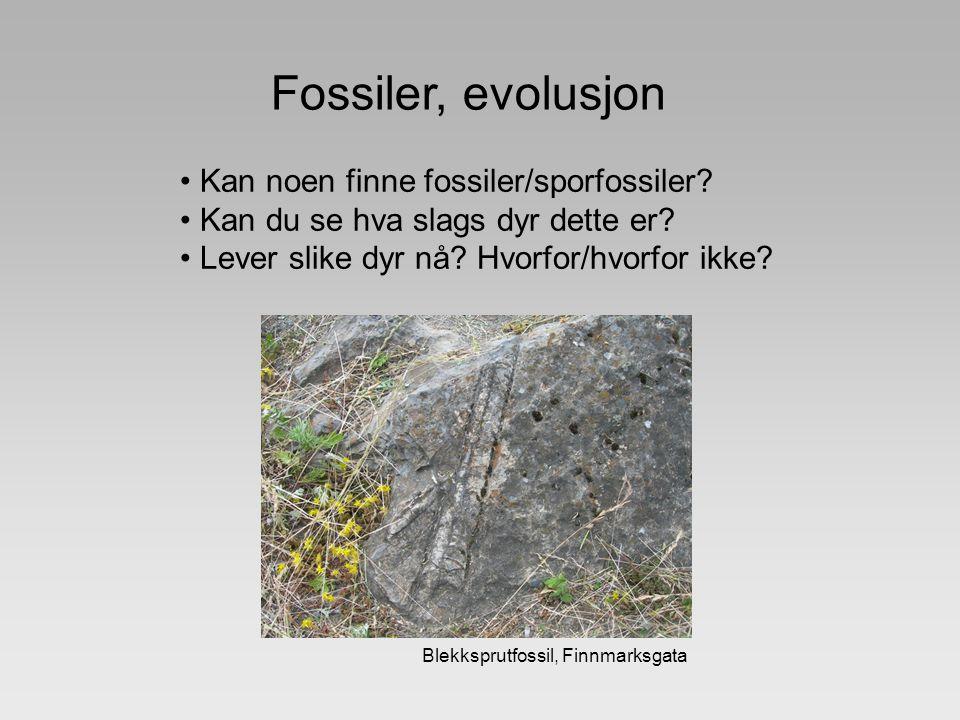 Fossiler, evolusjon Kan noen finne fossiler/sporfossiler? Kan du se hva slags dyr dette er? Lever slike dyr nå? Hvorfor/hvorfor ikke? Blekksprutfossil