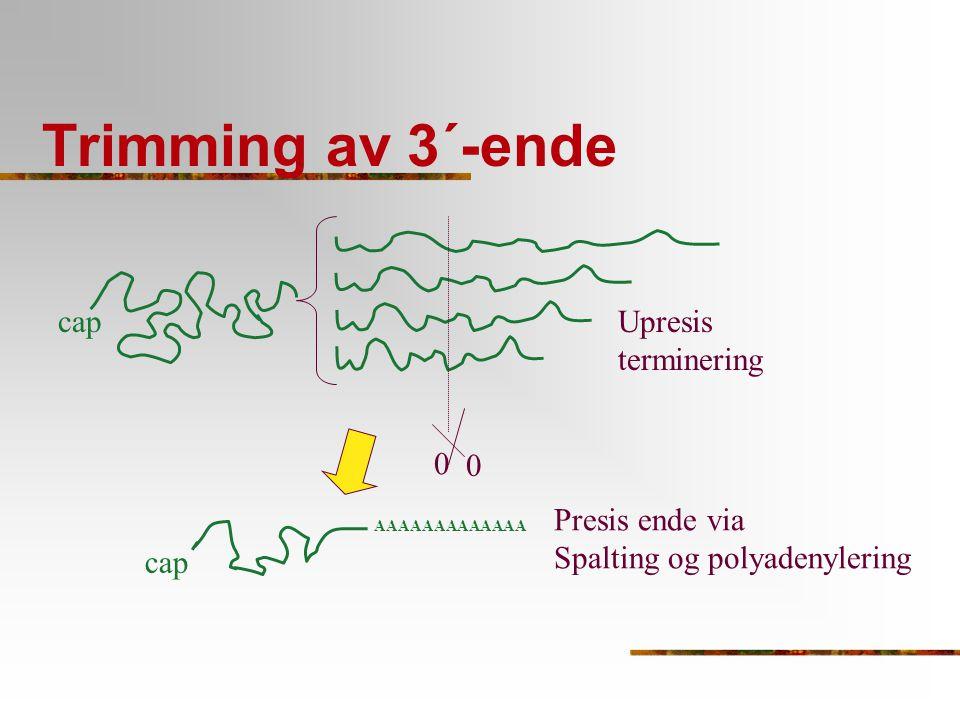 Trimming av 3´-ende cap AAAAAAAAAAAAA Upresis terminering cap Presis ende via Spalting og polyadenylering 0 0