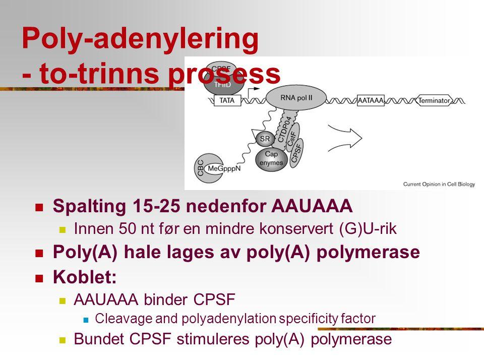 Poly-adenylering - to-trinns prosess Spalting 15-25 nedenfor AAUAAA Innen 50 nt før en mindre konservert (G)U-rik Poly(A) hale lages av poly(A) polyme