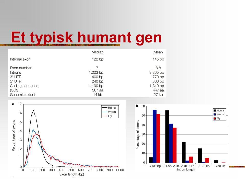 Et typisk humant gen