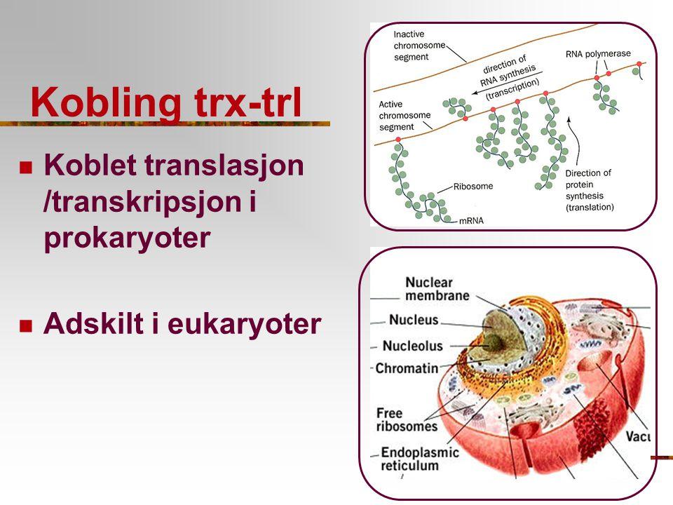 Kobling trx-trl Koblet translasjon /transkripsjon i prokaryoter Adskilt i eukaryoter