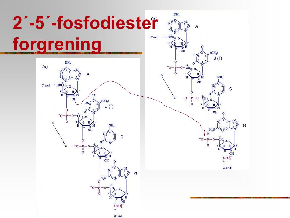 2´-5´-fosfodiester forgrening