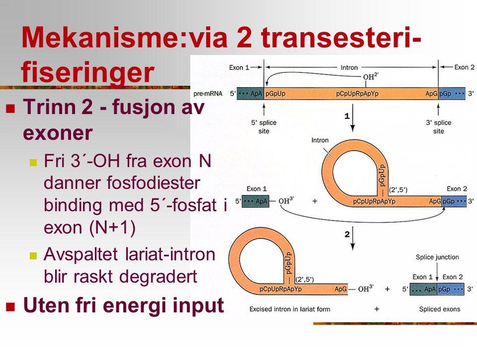 Mekanisme:via 2 transesteri- fiseringer Trinn 2 - fusjon av exoner Fri 3´-OH fra exon N danner fosfodiester binding med 5´-fosfat i exon (N+1) Avspalt