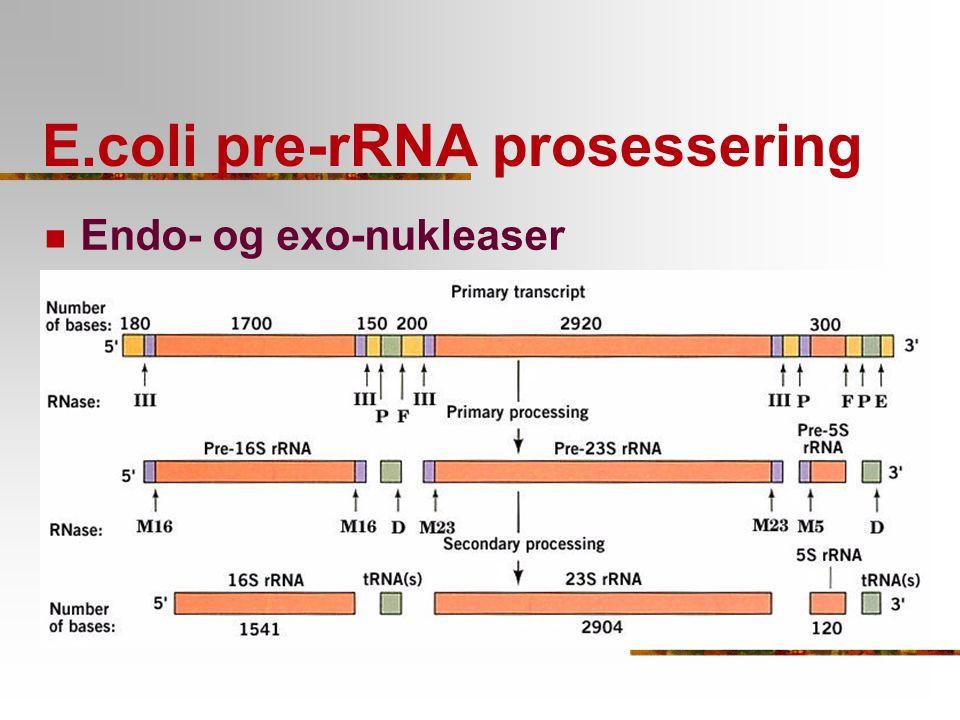 E.coli pre-rRNA prosessering Endo- og exo-nukleaser