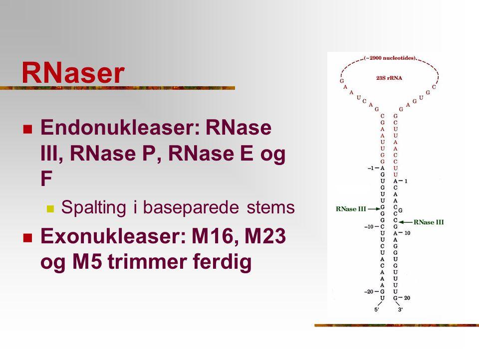 RNaser Endonukleaser: RNase III, RNase P, RNase E og F Spalting i baseparede stems Exonukleaser: M16, M23 og M5 trimmer ferdig