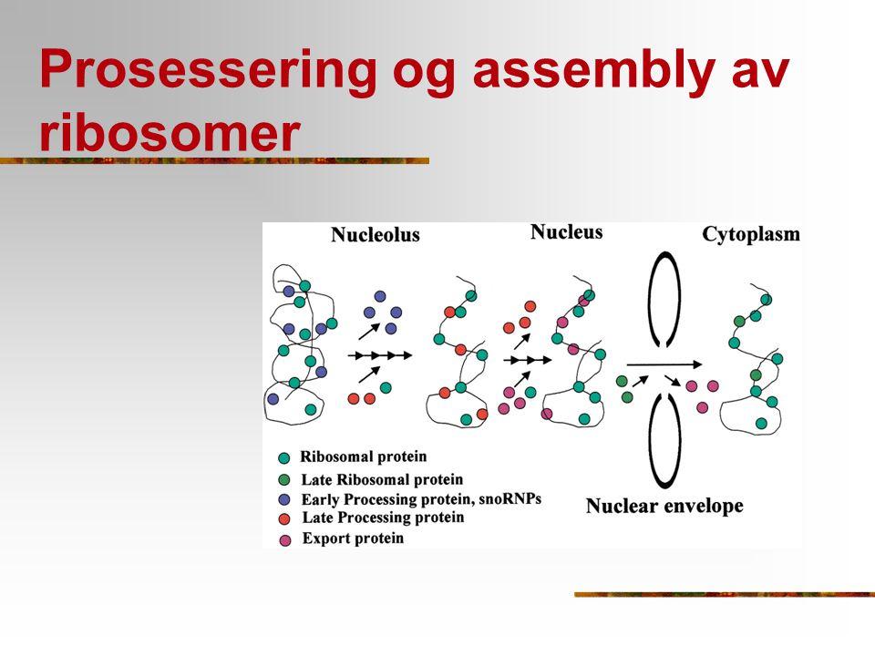 Prosessering og assembly av ribosomer