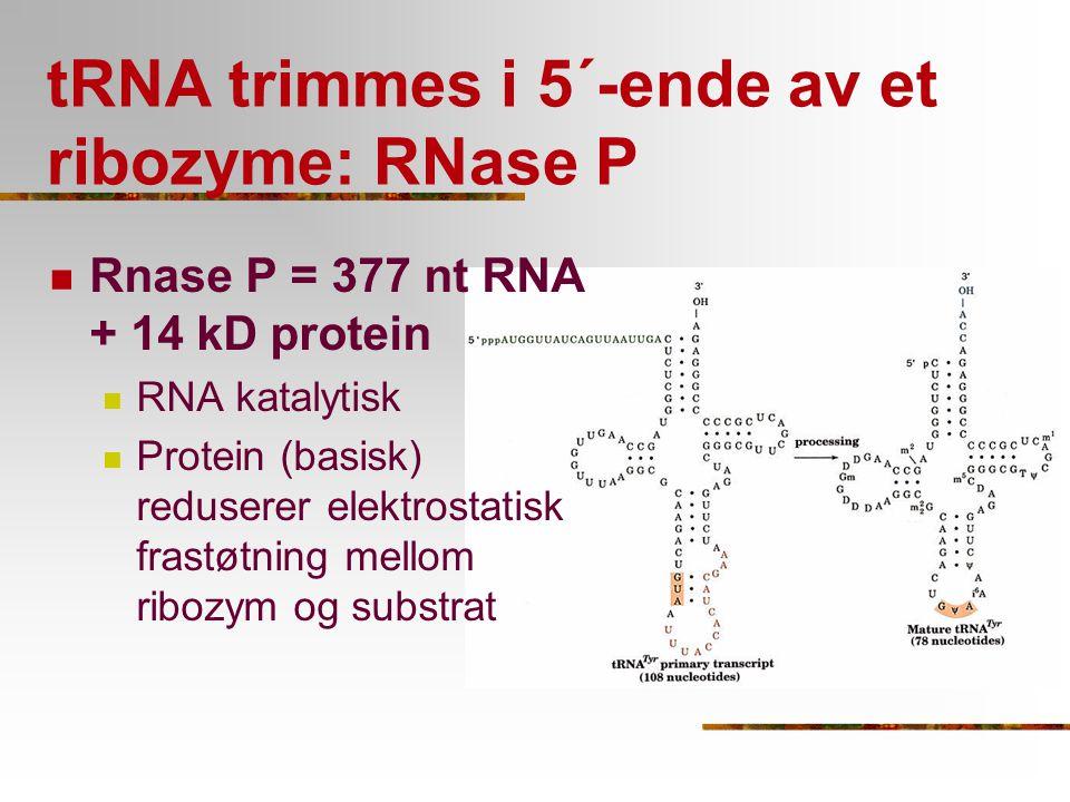 tRNA trimmes i 5´-ende av et ribozyme: RNase P Rnase P = 377 nt RNA + 14 kD protein RNA katalytisk Protein (basisk) reduserer elektrostatisk frastøtni