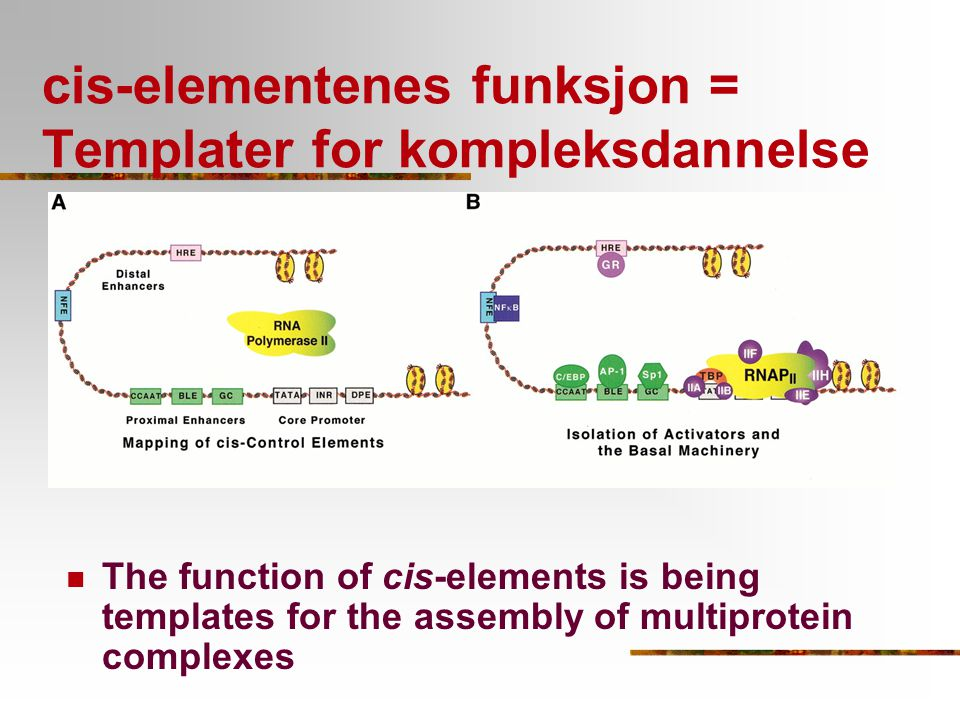 cis-elementenes funksjon = Templater for kompleksdannelse The function of cis-elements is being templates for the assembly of multiprotein complexes