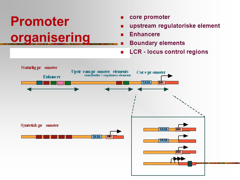 Promoter organisering core promoter upstream regulatoriske element Enhancere Boundary elements LCR - locus control regions