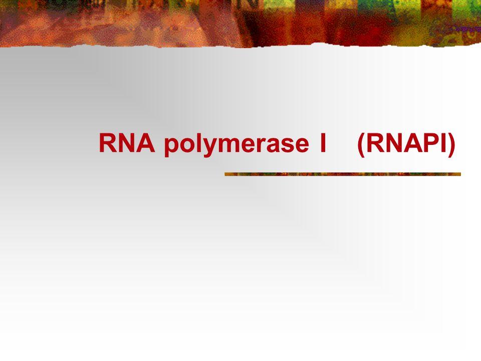Klasse I gener (rRNA) transkribert av RNA polymerase I (RNAPI) RNAPI syntetiserer kun en type RNA: ribosomalt RNA En trx enhet (7.5 kB) Multiple tandem gener for å øke rRNA produksjonen 50 - 10 000x avh av species