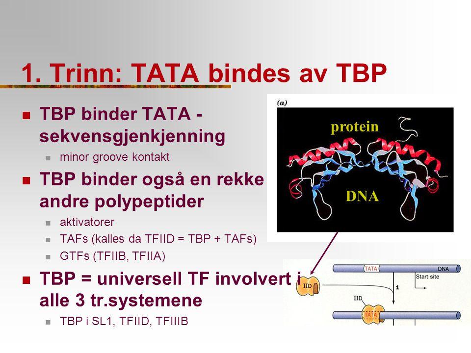 1. Trinn: TATA bindes av TBP DNA protein TBP binder TATA - sekvensgjenkjenning minor groove kontakt TBP binder også en rekke andre polypeptider aktiva