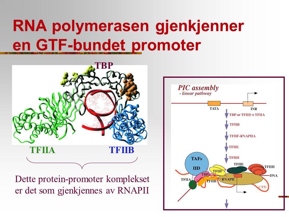 RNA polymerasen gjenkjenner en GTF-bundet promoter TFIIA TBP TFIIB Dette protein-promoter komplekset er det som gjenkjennes av RNAPII