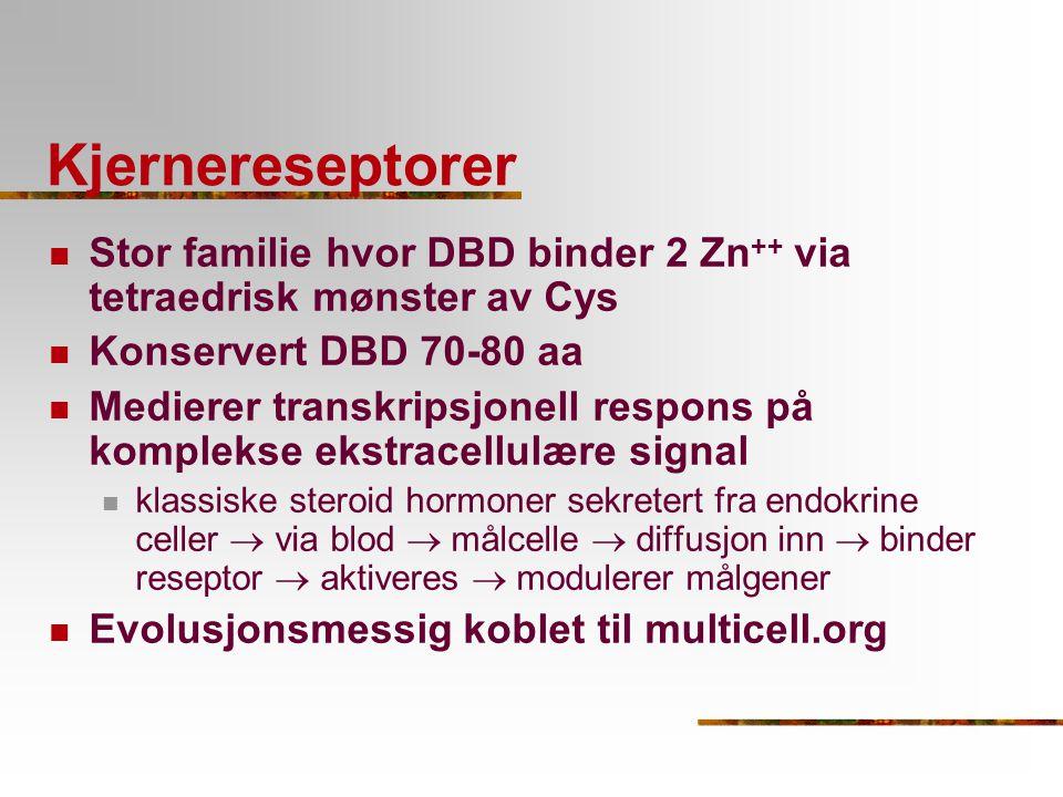 Kjernereseptorer Stor familie hvor DBD binder 2 Zn ++ via tetraedrisk mønster av Cys Konservert DBD 70-80 aa Medierer transkripsjonell respons på komp