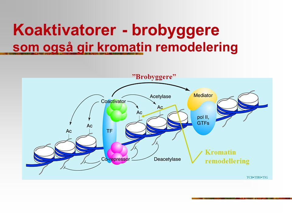 """Koaktivatorer - brobyggere som også gir kromatin remodelering """"Brobyggere"""" Kromatin remodellering"""