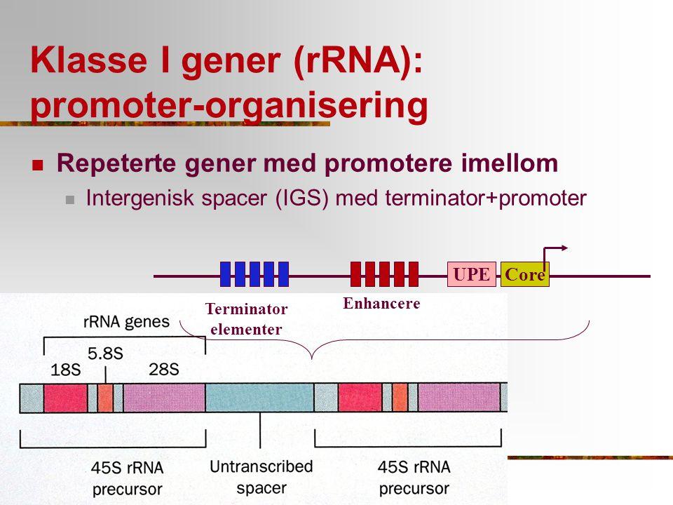 Klasse I gener (rRNA): Hjelpefaktorer involvert Repeterte gener med promotere imellom Intergenisk spacer (IGS) med terminator+promoter CoreUPE Terminator elementer Enhancere SL1 TTF-1 UBF RNAPI