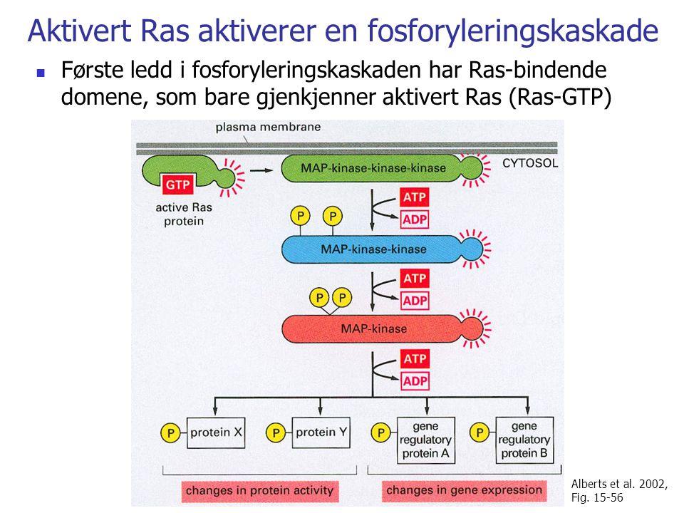 Aktivert Ras aktiverer en fosforyleringskaskade Første ledd i fosforyleringskaskaden har Ras-bindende domene, som bare gjenkjenner aktivert Ras (Ras-GTP) Alberts et al.