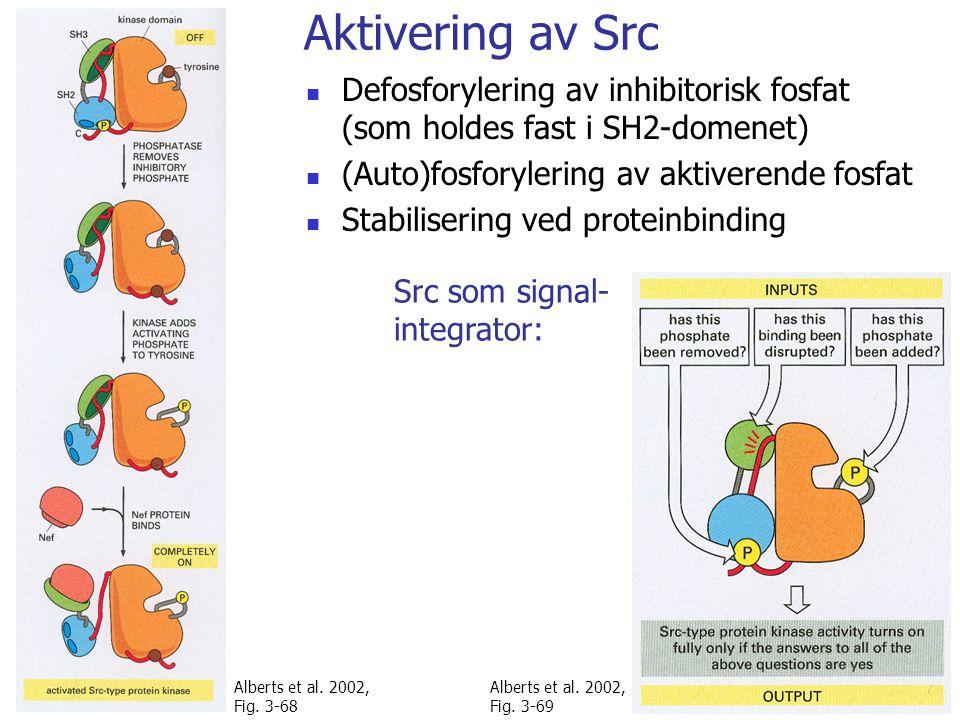 Aktivering av Src Defosforylering av inhibitorisk fosfat (som holdes fast i SH2-domenet) (Auto)fosforylering av aktiverende fosfat Stabilisering ved proteinbinding Alberts et al.