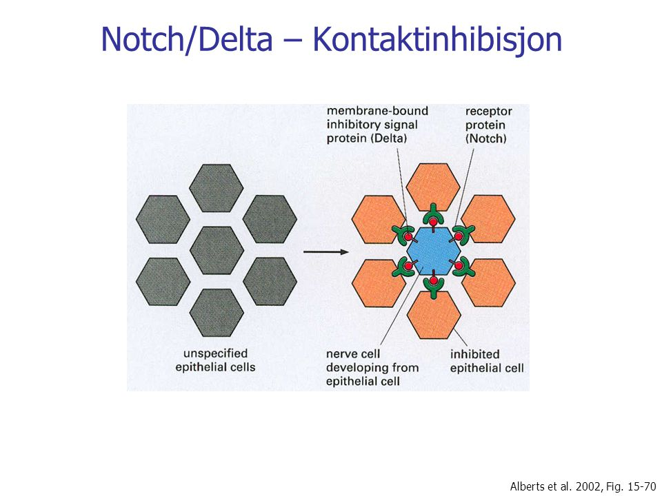 Notch/Delta – Kontaktinhibisjon Alberts et al. 2002, Fig. 15-70