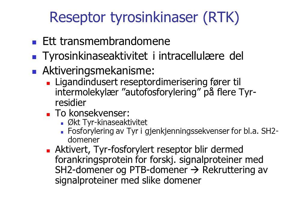 Reseptor tyrosinkinaser (RTK) Ett transmembrandomene Tyrosinkinaseaktivitet i intracellulære del Aktiveringsmekanisme: Ligandindusert reseptordimerisering fører til intermolekylær autofosforylering på flere Tyr- residier To konsekvenser: Økt Tyr-kinaseaktivitet Fosforylering av Tyr i gjenkjenningssekvenser for bl.a.