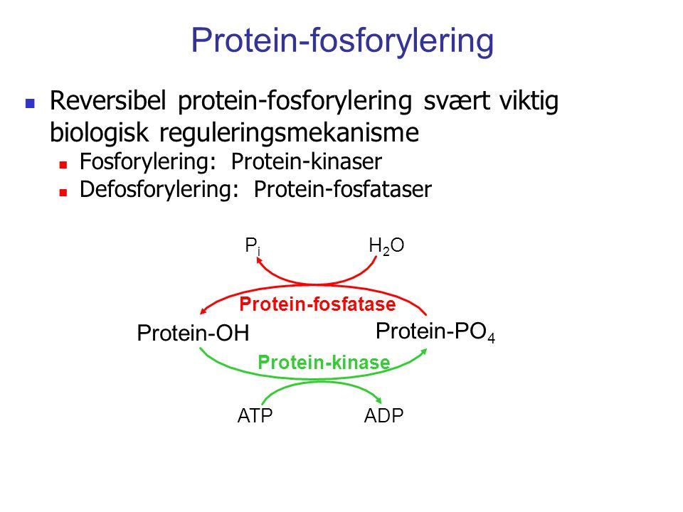 Protein-fosforylering Reversibel protein-fosforylering svært viktig biologisk reguleringsmekanisme Fosforylering: Protein-kinaser Defosforylering: Pro