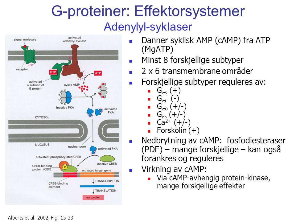 G-proteiner: Effektorsystemer Adenylyl-syklaser Danner syklisk AMP (cAMP) fra ATP (MgATP) Minst 8 forskjellige subtyper 2 x 6 transmembrane områder Fo