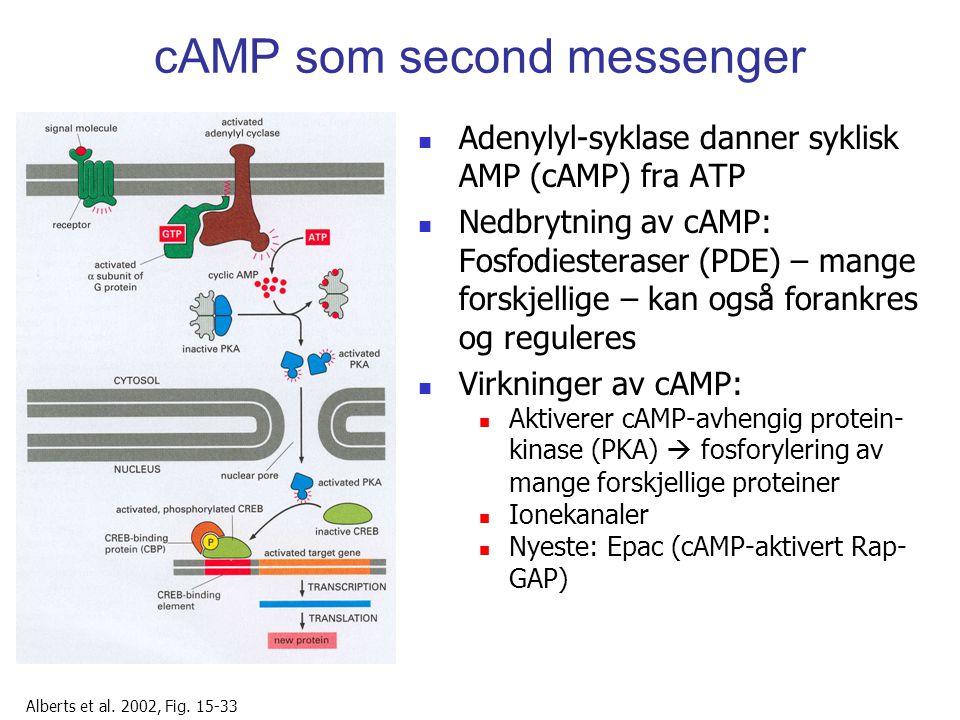 cAMP som second messenger Adenylyl-syklase danner syklisk AMP (cAMP) fra ATP Nedbrytning av cAMP: Fosfodiesteraser (PDE) – mange forskjellige – kan og