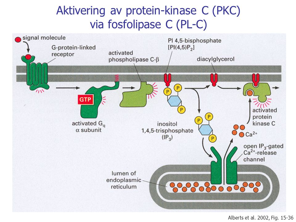 Aktivering av protein-kinase C (PKC) via fosfolipase C (PL-C) Alberts et al. 2002, Fig. 15-36