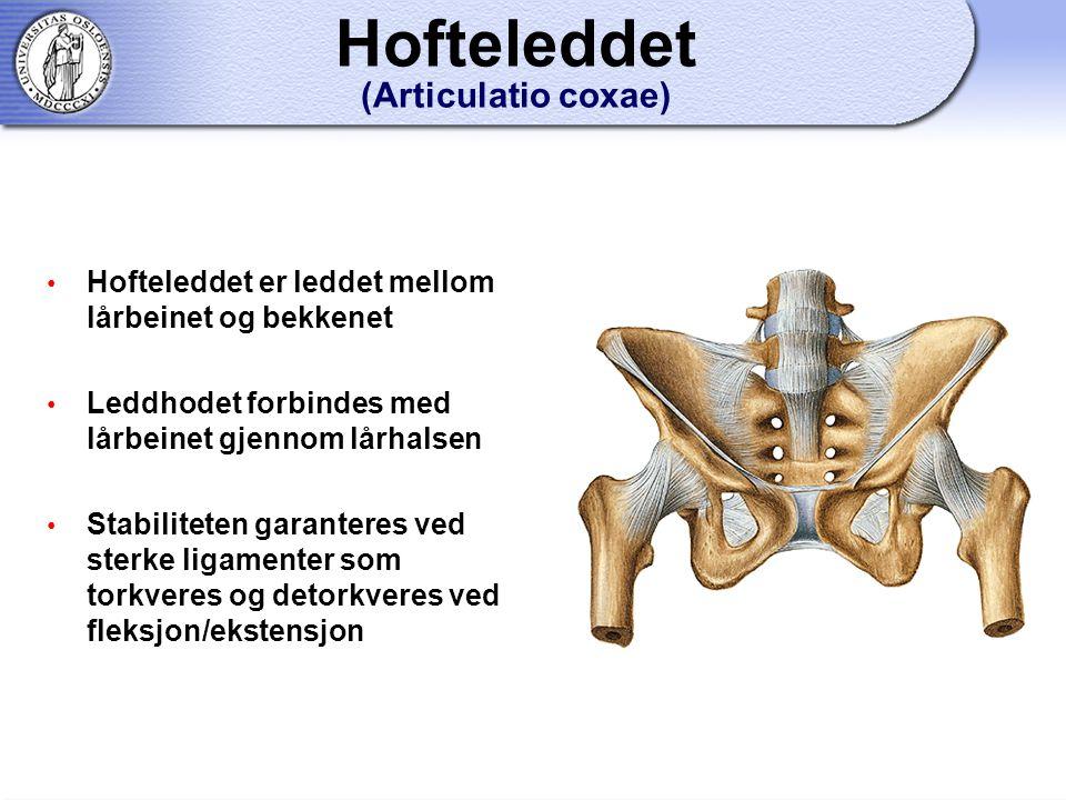Hofteleddet (Articulatio coxae) Hofteleddet er leddet mellom lårbeinet og bekkenet Leddhodet forbindes med lårbeinet gjennom lårhalsen Stabiliteten garanteres ved sterke ligamenter som torkveres og detorkveres ved fleksjon/ekstensjon