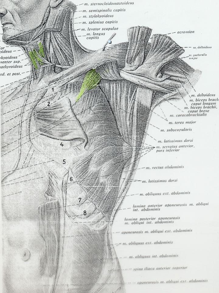 Gerty Lund 2006 Viktige muskler festet til scapula:  Rhomboideus major  Trapezius nedre del  Pectoralis major og minor  Serratus anterior