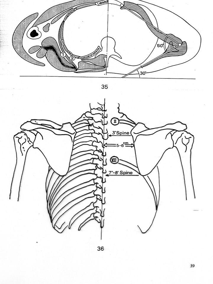 Sternocl.mastoideus