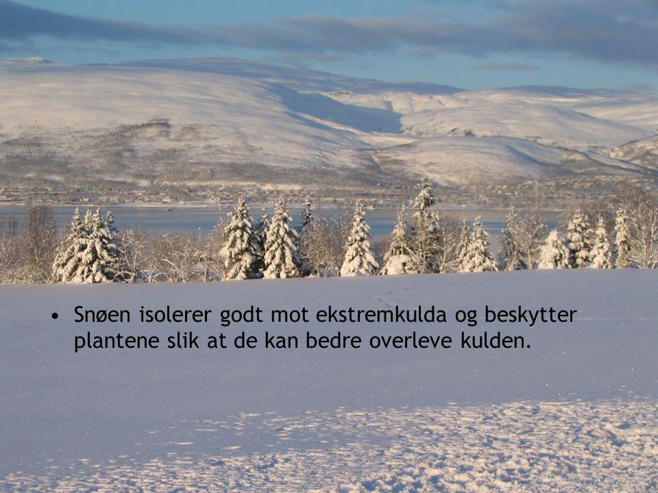 Snøen isolerer godt mot ekstremkulda og beskytter plantene slik at de kan bedre overleve kulden.