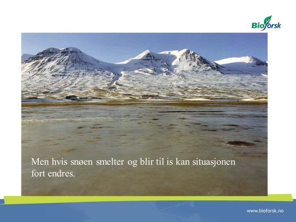 Men hvis snøen smelter og blir til is kan situasjonen fort endres.