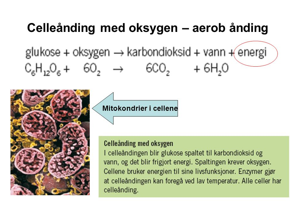 Celleånding med oksygen – aerob ånding Mitokondrier i cellene