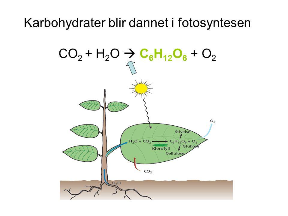 Karbohydrater blir dannet i fotosyntesen CO 2 + H 2 O  C 6 H 12 O 6 + O 2