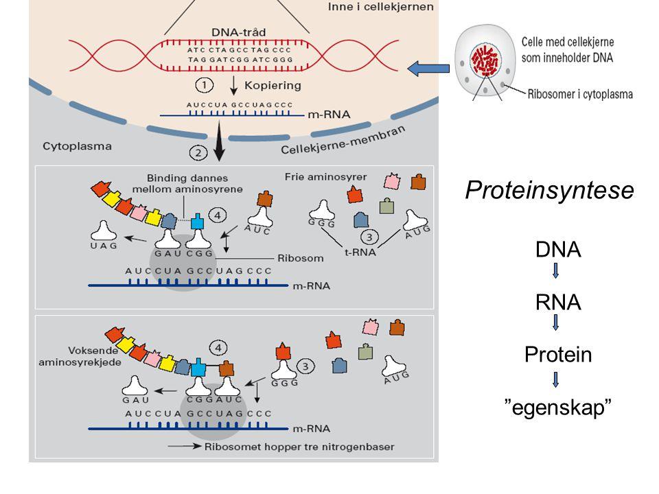 "Proteinsyntese DNA RNA Protein ""egenskap"""